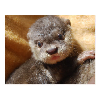 Orphaned otter pup postcard