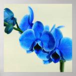 Orquídea azul posters