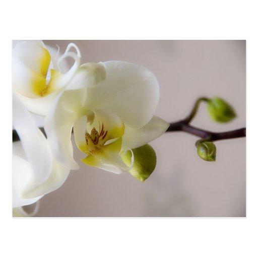 Orquídea blanca • Postal