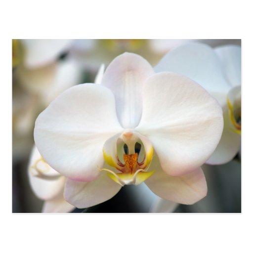 Orquídea blanca postal
