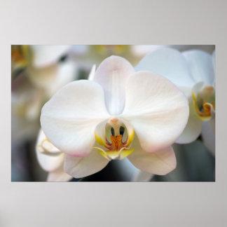Orquídea blanca póster