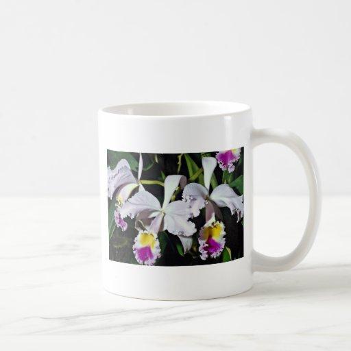 Orquídea, cattleya-híbrido, cattleya (negro de los tazas de café
