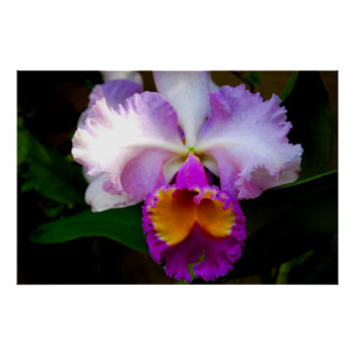 Orquídea de Cattleya - blanca/púrpura/amarillo Póster