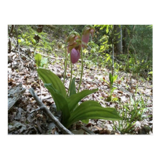 Orquídea de deslizador de señora rosada postales