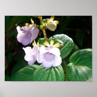 Orquídea de la púrpura de Fiji Poster