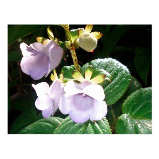 Orquídea de la púrpura de Fiji Tarjeta Postal