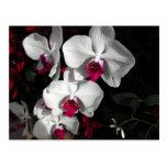 Orquídea de la reina tarjetas postales