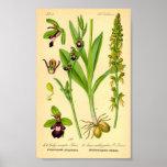 Orquídea de mosca (insectifera del Ophrys) Impresiones
