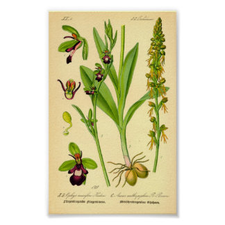Orquídea de mosca insectifera del Ophrys Impresiones