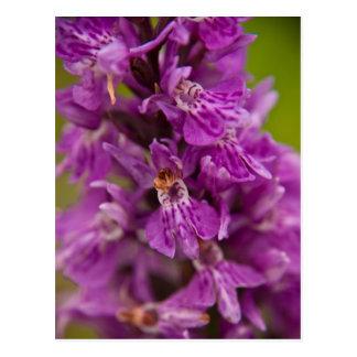 Orquídea de pantano occidental postal