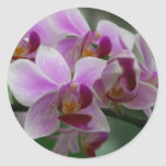 Orquídea de polilla