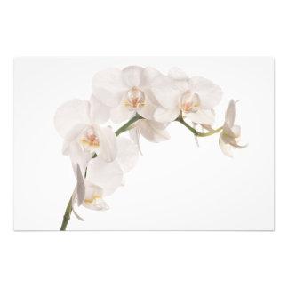 Orquídea de polilla blanca cojinete
