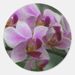 Orquídea de polilla etiqueta redonda