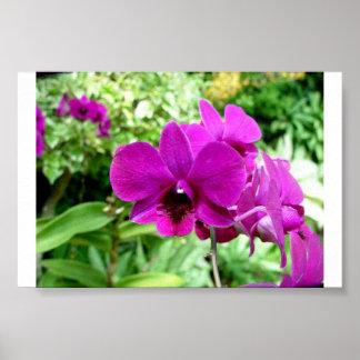 Orquídea de Singapur Póster