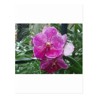 Orquídea de Singapur Tarjetas Postales