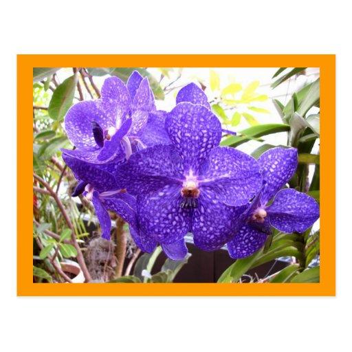 Orquídea de Vanda Pachara Postal