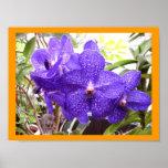 Orquídea de Vanda Pachara Poster