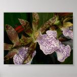 Orquídea de Zygopetalum Impresiones
