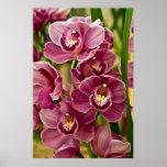 Orquídea del Cymbidium Poster