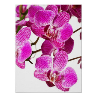 Orquídea del Dendrobium de las rosas fuertes - fon Póster