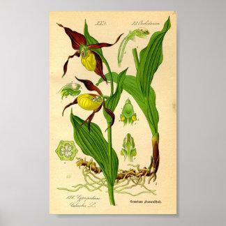 Orquídea del deslizador de señora (calceolus del C Póster