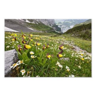 Orquídea del deslizador de señora - impresión de l arte fotográfico
