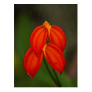 Orquídea del ignea del Masdevallia Postal