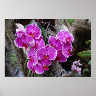 Orquídea del Phalaenopsis en hábitat natural Póster