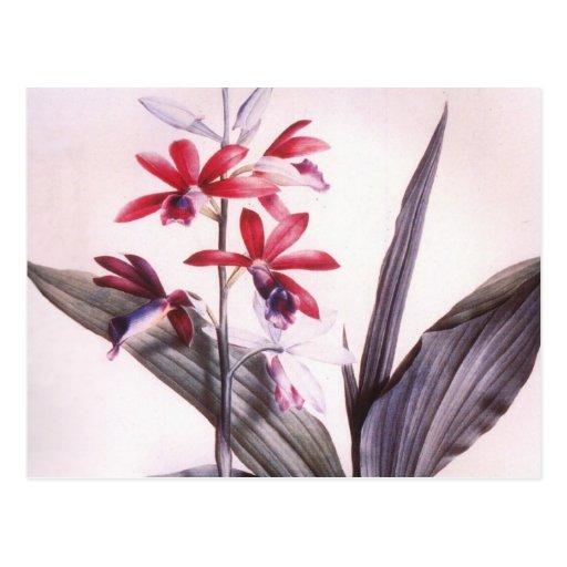 Orquídea del rojo de Redoute del vintage Tarjeta Postal