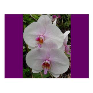 Orquídea - flor rosado (Colossians 2: 3) Postal