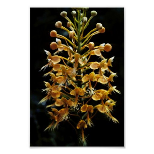Orquídea franjada amarillo póster