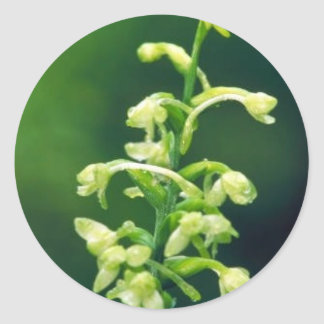 Orquídea franjada verde pegatina redonda