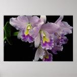Orquídea hermosa, cattleya (labiata del ariel x) poster