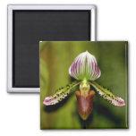 Orquídea imponente imán
