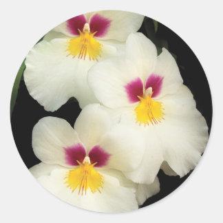 Orquídea - Miltoniopsis - los tres amigos Pegatina Redonda