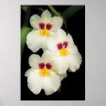 Orquídea - Miltoniopsis - los tres amigos Posters