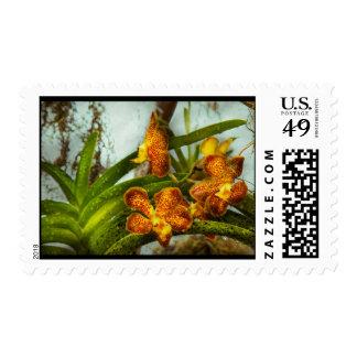 Orquídea - Oncidium - madurada Sellos