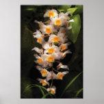 Orquídea - orquídea del Dendrobium Impresiones