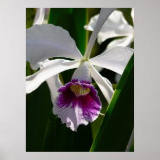 orquídea posters