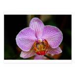 Orquídea (Phalaenopsis) Tarjetas Postales
