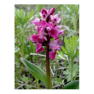 Orquídea púrpura del pantano, isla de Unalaska Tarjeta Postal