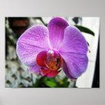 Orquídea púrpura posters