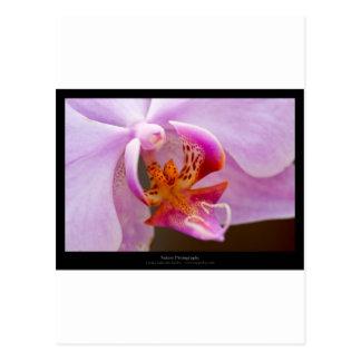 Orquídea rosada de la flor 034 postal