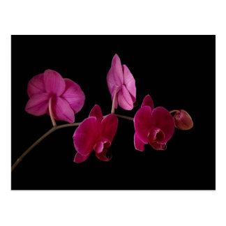 Orquídea rosada del Dendrobium en el negro - modif Tarjeta Postal