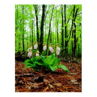 Orquídea salvaje de señora deslizador rosada postal