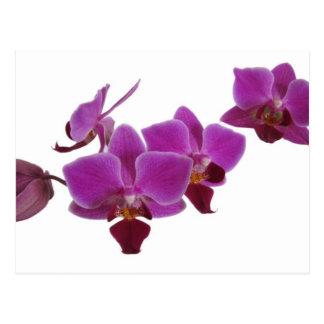 Orquídea Tarjeta Postal