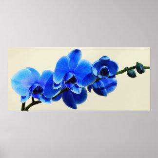 Orquídeas azules póster