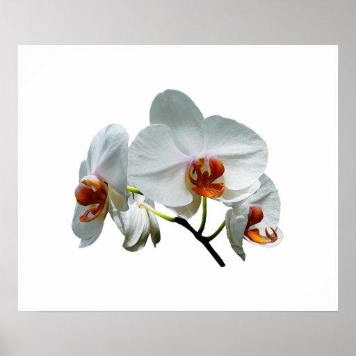 Orquídeas blancas con el CEN del naranja Poster