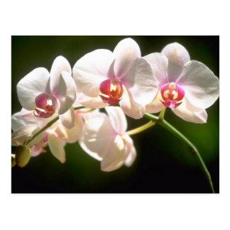 orquídeas blancas, plantación de la perspectiva, f postal