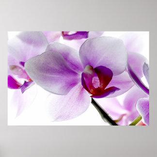 Orquídeas blancas póster